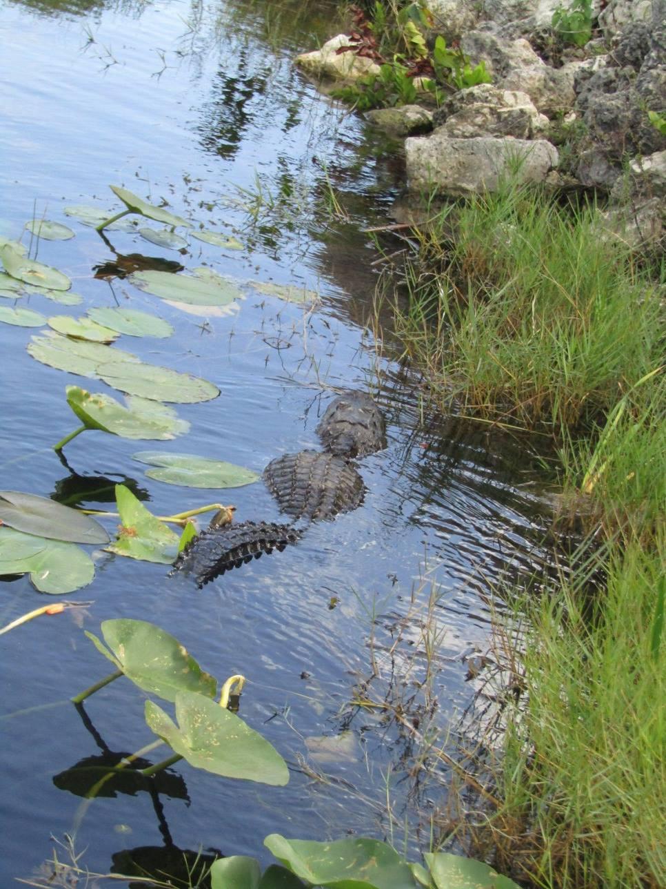 Miami Everglades Tour #evergladestour #toursfrommiami #evergladesboattours